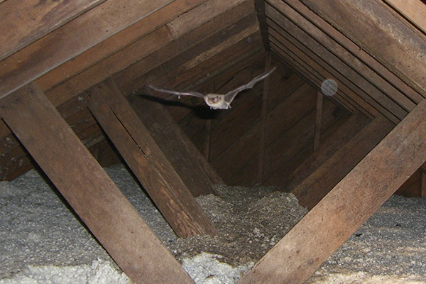 Bat In The Attic Humane Removal Of Bats In The Attic Of