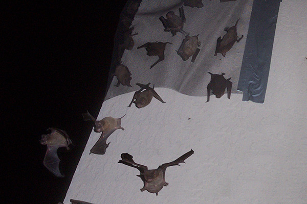 Bat in the Attic - e Removal of Bats in the Attic of your House How To Install Bat Door on blinds door, welcome door, privacy door, driver door,