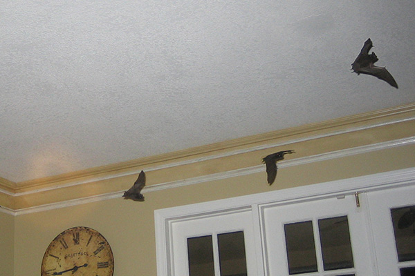 Do Bats Chew On Electric Wires In The Attic