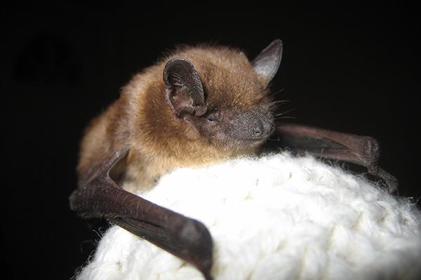 Bat Nest In Attic Nest Of Baby Bats
