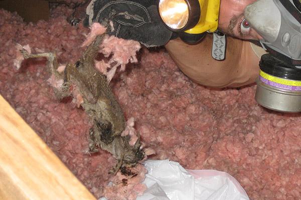 Dead Squirrel In Attic Smell Image Balcony And Attic