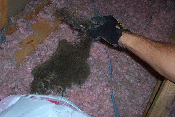 How To Find A Dead Squirrel In The Attic House Or Walls
