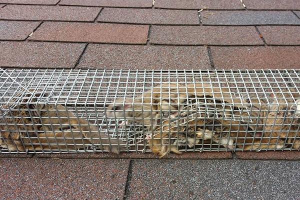 Squirrel Caught In