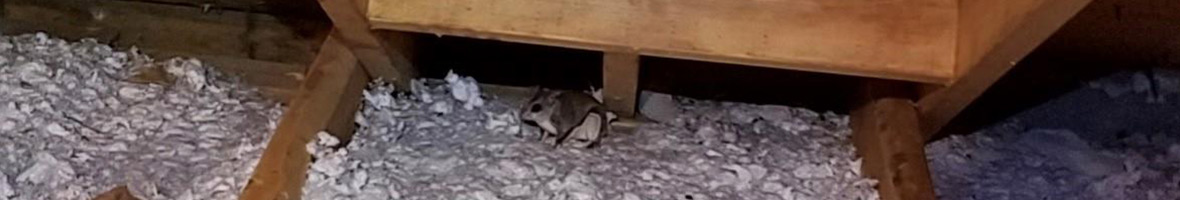 Flying Squirrel Feces Poop Droppings Photos