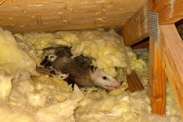 Possum In The Attic Humane Removal Of Possums In The