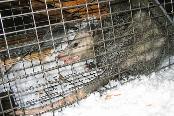 Trapping Animals In Attic How To Catch Critter In Attic
