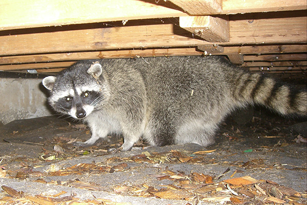How To Keep Raccoons Away Raccoon Prevention Tips
