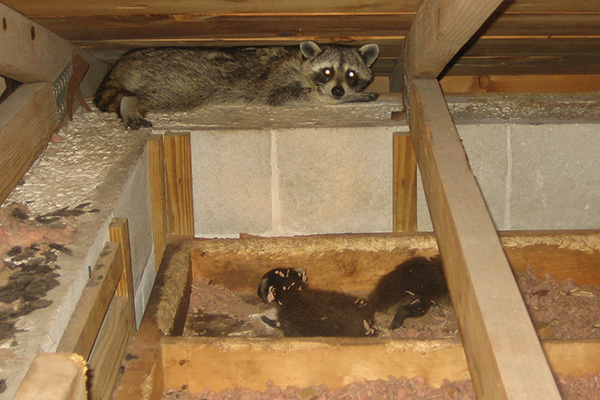 How To Tell What Kind Of Animal Is In My Attic