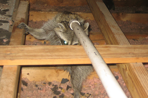 How Much Does It Cost To Remove Raccoons From An Attic