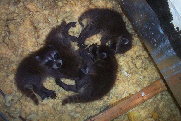 & Raccoon Nest in Attic - Nest of Baby Raccoons