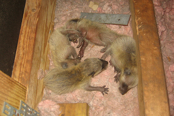Nest Of Baby Animals In The Attic