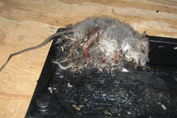 How To Kill Animals In The Attic