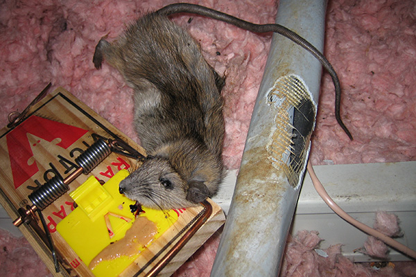 Mouse Bait What is the Best Bait to Catch Mice
