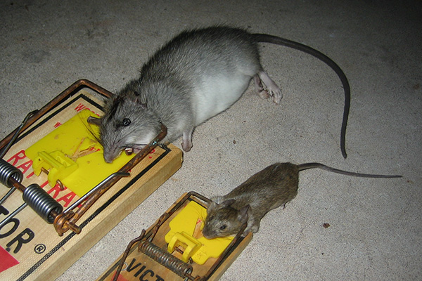 How To Trap Rats Rat Trapping Tips