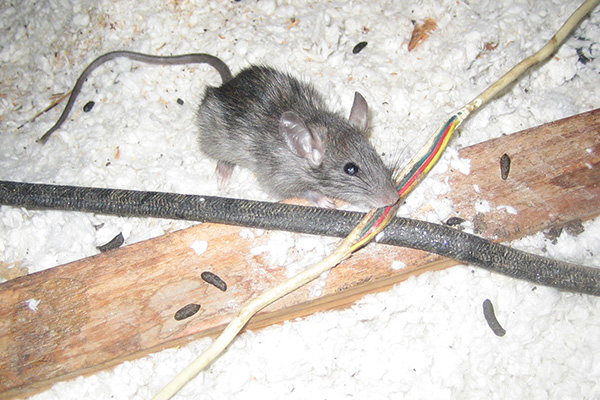 Do Mice Chew On Electrical Wires and Cords?