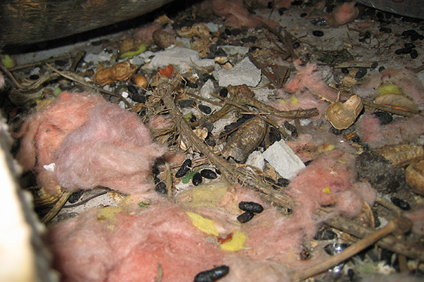 Damage Caused By Squirrels In The Attic Photographs